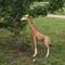 Girafe - 90 cm 189.00 € ttc