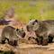 Capybara - 34 cm 85.20 € ttc