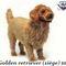 Golden Retriever (siège) - 100 cm 545.00 € ttc