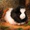 Cochon d'Inde 18 cm 52.80 € ttc