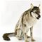 Loup assis géant 105 cm - 6738 559.44 € ttc