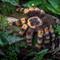 Migale à pattes rouges  Aggi  - 22 cm 74.40 € ttc