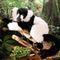 Lémurien noir-blanc 52 cm 200.40 € ttc