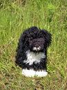 Kosen Portuguese Water dog - 51 cm