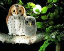 Kosen Tawny owl