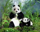 Kosen Panda - 28 cm