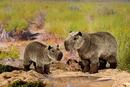 Kosen Capybara - 34 cm