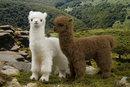 Kosen Lama blanc - 30 cm