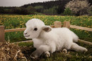 Kosen Sheep - 30 cm