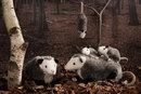 Kosen Opossum - 50 cm