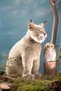 Kosen Lynx  - 66 cm
