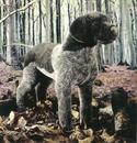Kosen Braque Allemand noir - 47 cm