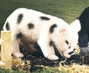 Kosen Cochon miniature - 30 cm