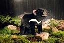 Kosen Diable de tasmanie - 51 cm