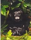Kosen Gorille, femelle - 34 cm