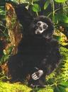 Kosen Petit gorille - 28 cm