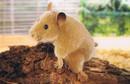Kosen Hamster assis  Berti  - 11 cm
