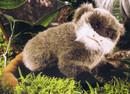 Kosen Tamarin empereur bébé - 21 cm
