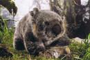 Kosen Wombat  Donna - 35 cm