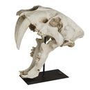 Authentic Models -AM- Crâne de tigre à dents de sabre