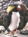 Kosen Pingouin à houpette 30 cm