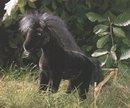 Kosen Poney noir 35 cm
