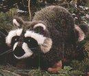 Kosen Raccoon 36 cm