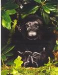 Gorille, femelle - 34 cm